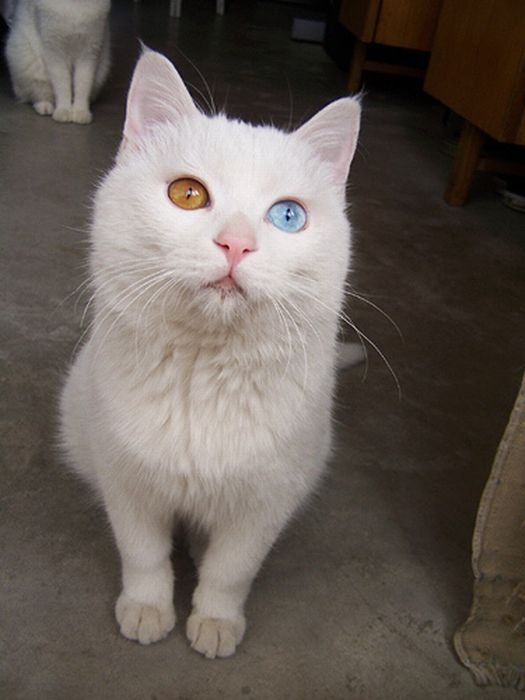 White Cat With Two Different Color Eyes Photos (2)